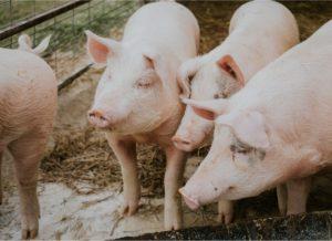 Использование фитобиотиков для свиней